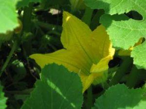 Как вырастить кабачки и патиссоны фото